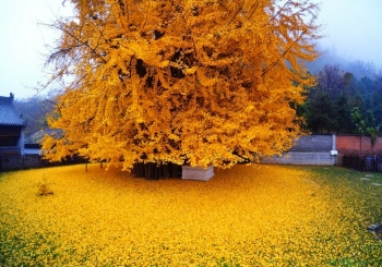 درخت چهل سکه یا جینگو (Ginkgo) | چین